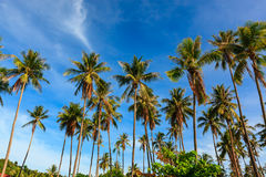 Group of coconut tree grow to the clear blue sky. Stock Images
