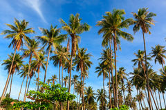 Group of coconut tree grow to the clear blue sky. Stock Photos