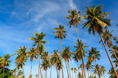 Group of coconut tree grow to the clear blue sky. Royalty Free Stock Photo
