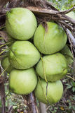 Group coconut on the tree. Royalty Free Stock Images