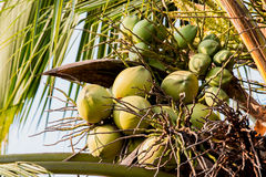 Group coconuts. Group of fresh coconuts on the tree Stock Images
