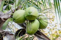 Group coconuts Royalty Free Stock Photography