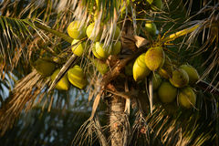 A group of coconuts growing on a palm tree Stock Images
