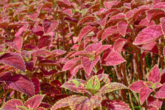 Group of  coleus in garden Stock Photos