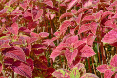 Group of  coleus in garden Stock Photo