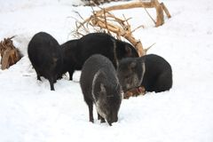Group of collared peccary. Group of black collared peccary in winter Stock Images