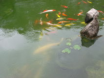 Group of coloful Chinese fish in the pond. A large group of coloful fish in the pond,Chinese style carp landscape royalty free stock image