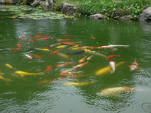 Group of coloful Chinese golden fish in the pond. A large group of coloful fish in the pond with green water,Chinese style carp landscape stock photo