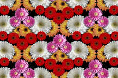 Group colored flowers large daisies on a black background Stock Photography