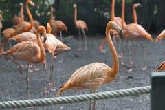 Orange flamingos standing next to a pond stock photo