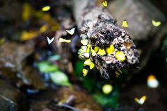 Group of colorful butterflies flying and catching around a trunk in rainforest, motion blur and bokeh on foreground and background Royalty Free Stock Photos