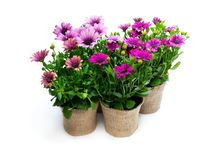 Group of colorful daisy flowers in small pots decorated with sackcloth isolated on white. Group  of colorful daisy flowers in small pots decorated with sackcloth stock photos