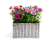 Group of colorful daisy flowers in white wicker basket isolated on white. Group  of colorful daisy flowers in white wicker basket isolated on white stock image