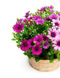 Group of colorful daisy flowers in wicker basket isolated on white. Group  of colorful daisy flowers in wicker basket isolated on white stock image