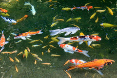 A group of colorful fancy carp fish swimming. Royalty Free Stock Photography