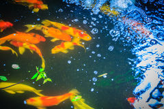 Group of colorful fancy carp fish swimming in the lake. School o. F colorful koi fish swimming in a pond Stock Photo