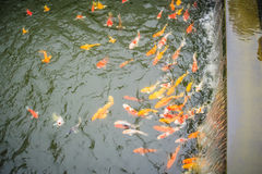 Group of colorful fancy carp fish swimming in the lake. School o. F colorful koi fish swimming in a pond Stock Photography