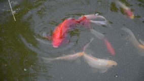 Group of colorful fishes swimming in the pond. Viewed from top stock video footage