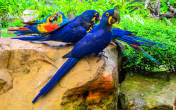Group of colorful macaw birds. On the stone Royalty Free Stock Photo
