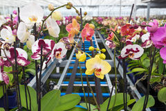 Group of colorful orchidaceae in greenhouse Stock Images