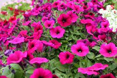 Group of Colorful Petunias in a Garden stock images