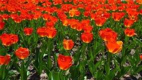 Group of colorful red tulips in the garden. Group of colorful tulip in the garden stock video