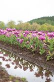 Group of colorful tulip in the flower field with reflection. Group of colorful tulip in the flower field at Japan with reflection Royalty Free Stock Photography