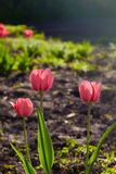 Group of colorful tulips lit by sunlight. Soft selective focus, stock photo