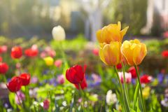 Group of colorful tulips lit by sunlight. Soft selective focus, royalty free stock photography