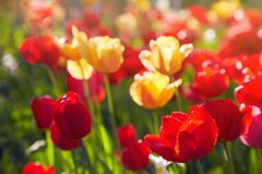 Group of colorful tulips lit by sunlight. Soft selective focus, royalty free stock photo