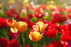 Group of colorful tulips lit by sunlight. Soft selective focus, stock photos