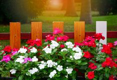Group of colorful Vinca flower in front wooden fence  in the garden. Orange light from the photo editor stock image