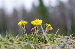 Coltsfoot flowers closeup Royalty Free Stock Images