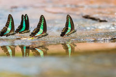 Group of Common Bluebottle butterflies Stock Photography