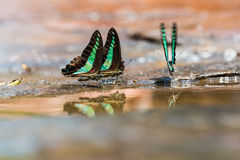 Group of Common Bluebottle butterflies Royalty Free Stock Image