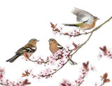 Group of Common Chaffinch perched on a Japanse cherry branch Royalty Free Stock Photo