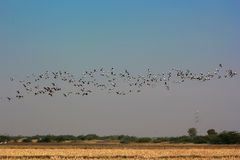 Group of common cranes blue sky flying grus grus Royalty Free Stock Photos