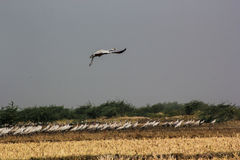 Group of common cranes blue sky flying grus grus Stock Photography
