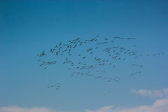 Group of common cranes blue sky flying grus grus Stock Photos