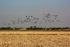 Group of common cranes blue sky flying grus grus Royalty Free Stock Photo