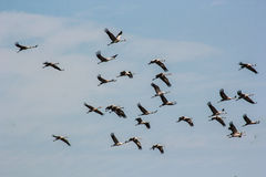 Group of common cranes blue sky flying grus grus Royalty Free Stock Image