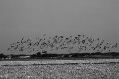 Group of common cranes blue sky flying grus grus monochrome Stock Photos