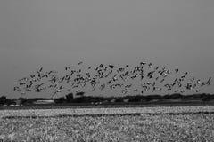 Group of common cranes blue sky flying grus grus monochrome Stock Photos