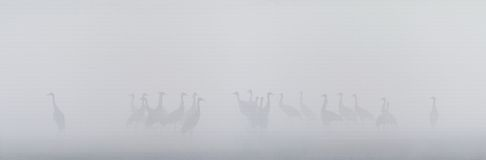 Group of common cranes in a misty bog Royalty Free Stock Photo