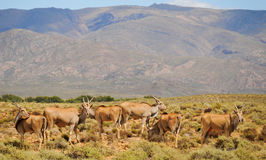 Group of elands, the largest antelope in Africa. Group of common elands (Taurotragus oryx), the largest of all antelope in Africa at africal bush Stock Photos