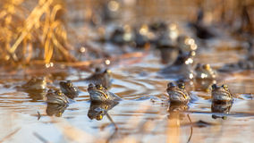 Group of common frogs Royalty Free Stock Image
