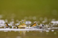 Group of common frogs Rana temporaria in water on a beautiful background royalty free stock photo