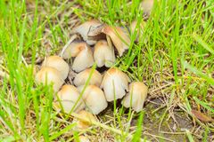 A group of common fungi in the grass Stock Images