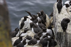 A group of common guillemots & x28;murres& x29;, Uria aalge, at a rock in Scotland. Royalty Free Stock Image