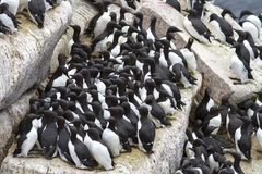 Group common murre in a colony of sea birds on the Pacific Stock Photos